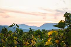 Colline vaghe dietro un bello paesaggio della vigna fotografie stock