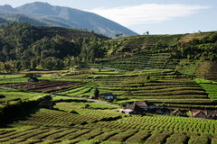 Colline verdi con i campi della piantagione ed alcune case circondate dalle montagne in Indonesia Immagine Stock