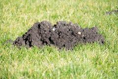 Collines de taupe dans la pelouse de jardin Photographie stock libre de droits
