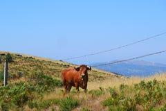Collines de Taureau du Portugal photos libres de droits