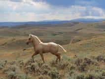 Collines du Wyoming de poulain de Palimino Photographie stock