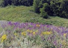 Collines, fleurs et une vache photos libres de droits