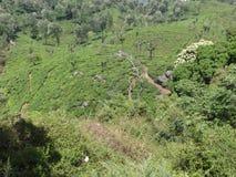 Collines semblant belles avec des arbres de thé avec la vue impressionnante Images stock