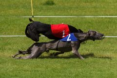 Collision between racing greyhounds stock images
