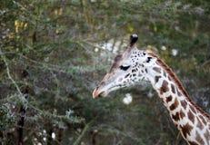 Collo alto della giraffa Fotografie Stock