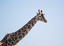 Collo della giraffa Immagini Stock Libere da Diritti