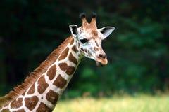Collo e fronte svegli della giraffa Immagini Stock