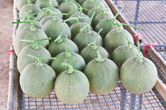 Free Collocate Of Harvested Japanese Melons Royalty Free Stock Photos - 31040728