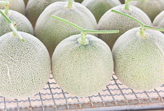 Free Collocate Of Harvested Japanese Musk Melons Royalty Free Stock Photography - 33160557