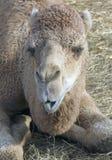 Colloquio del cammello Fotografie Stock Libere da Diritti