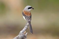 缅甸人伯劳拉尼厄斯泰国的collurioides鸟 免版税库存照片