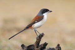 缅甸人伯劳拉尼厄斯泰国的collurioides鸟 免版税库存图片