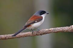 泰国的缅甸人伯劳拉尼厄斯collurioides逗人喜爱的鸟 免版税库存照片