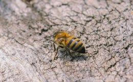 Colmeia com abelhas Imagem de Stock