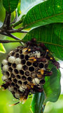 Colmeia da abelha que pendura na árvore com folhas verdes Imagem de Stock Royalty Free