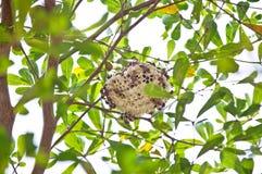 Colmeia da vespa que adere-se a uma árvore Imagem de Stock Royalty Free