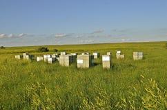 Colmena activa de la abeja en campo del trébol Imagen de archivo libre de regalías