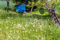Colmena azul en el jardín cerca del cerezo viejo Imagen de archivo libre de regalías