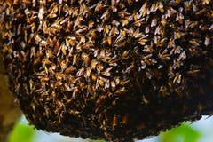 Colmena de la abeja, Ranthambhore Tiger Reserve, Rajasthán Fotografía de archivo libre de regalías