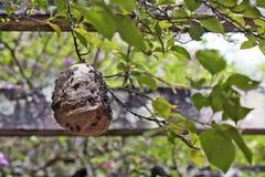 Colmena de la avispa en la pérgola del parque Fotos de archivo