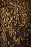 Colmena de las abejas del primer Imagenes de archivo