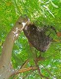 Colmena del gigante Honey Bees en árbol grande Fotos de archivo