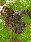 Colmena del gigante Honey Bees en árbol grande Imagen de archivo libre de regalías