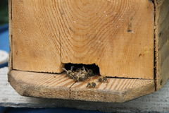 Colmena en l primer con las abejas que pululan alrededor Imagenes de archivo