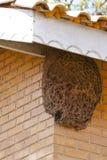 Colmena gigante de Trigona Spinipes (abejas sin aguijón) Fotografía de archivo