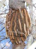 Colmena natural en un árbol Imagen de archivo libre de regalías