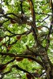 Colmena que cuelga sobre un árbol en la India Fotografía de archivo libre de regalías
