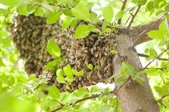 Colmena salvaje de la abeja Foto de archivo