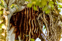 Colmena salvaje de la abeja Fotografía de archivo