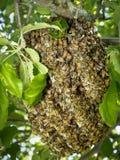 Colmena salvaje de la abeja Imagen de archivo