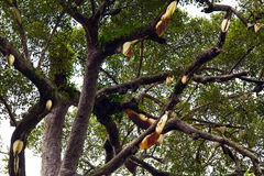 Colmena salvaje en bosque tropical Fotografía de archivo libre de regalías