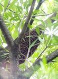 Colmena salvaje natural larga marrón grande de la abeja en un árbol con las hojas verdes Imagen de archivo libre de regalías