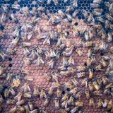 Colmena y abejas exhibidas en un caso de cristal fotografía de archivo libre de regalías