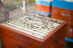 Colmenar de la abeja con la colonia de la abeja en el jardín Beeking en verano Abeja Fotografía de archivo