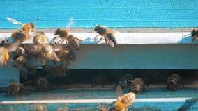 Colmenar del vídeo de la cámara lenta un enjambre de las moscas de abejas en una colmena recoge la miel del oso del polen abeja d almacen de metraje de vídeo