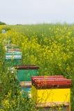 Colmenas cerca de un campo del canola Foto de archivo libre de regalías