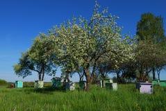 Colmenas de la abeja de la miel en jardín de la manzana de la primavera Imagen de archivo libre de regalías