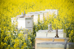 Colmenas de la abeja en Canola Fotografía de archivo libre de regalías