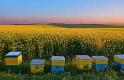 Colmenas de la abeja en canola Imagenes de archivo