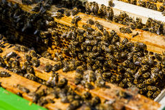 Colmenas en campo de la rabina con el enjambre de la abeja Foto de archivo