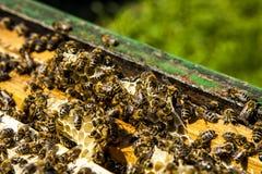 Colmenas en campo de la rabina con el enjambre de la abeja Imagenes de archivo