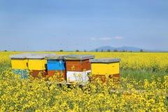 Colmenas en campo floreciente del canola durante primavera Imagen de archivo libre de regalías