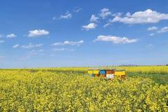 Colmenas en campo floreciente del canola durante primavera Fotografía de archivo