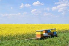 Colmenas en campo floreciente del canola durante primavera Foto de archivo libre de regalías
