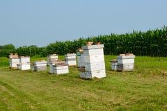 Colmenas en un campo de maíz Imagenes de archivo