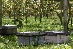Colmenas y abejas de la abeja en huerta del kiwi Imágenes de archivo libres de regalías